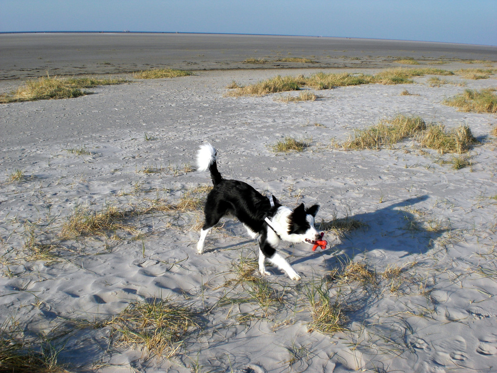 St. Peter-Ording Hund am Strand